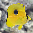 Indian Tear Drop Butterflyfish (click for more detail)