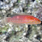 Venustus Wrasse Initial Phase (click for more detail)