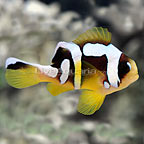 ORA® Spotcinctus Clownfish (click for more detail)