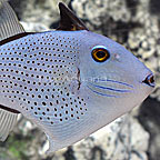 Red Tail Triggerfish  (click for more detail)