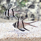 Captive-Bred  Kaudern's Cardinalfish (Bonded Pair) (click for more detail)