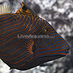 Undulated Triggerfish (click for more detail)