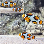 ORA® Premium Picasso Clownfish (Select Pair) (click for more detail)