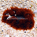 Caribbean Rock Flower Anemone Red (click for more detail)