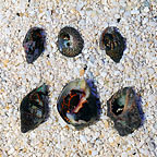 Orange & Black Reef Hermits (6 Lot) (click for more detail)