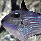 Blue Throat Triggerfish Male (click for more detail)