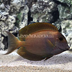 Aberrant Bristletooth Tang Adult (click for more detail)