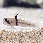 Rhino-Horn Goby (click for more detail)