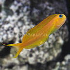 Gold Midas Blenny (click for more detail)