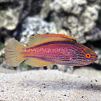 Lineatus Fairy Wrasse Terminal Phase Male (click for more detail)