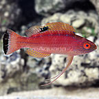 Cebu Pyle's Fairy Wrasse Terminal Phase Male (click for more detail)