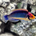 Red Head Solon Fairy Wrasse Terminal Phase Male (click for more detail)
