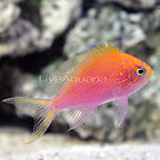 Fathead Sunburst Anthias  (click for more detail)