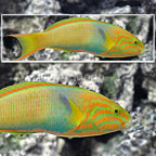 Banana Wrasse Terminal Phase Male (click for more detail)
