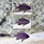 Caribbean Purple Reef Chromis (Trio) (click for more detail)