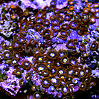 Orange Delight and Purple Rain Colony Polyp Rock Zoanthus Indonesia IM (click for more detail)
