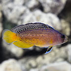 ORA® Captive-Bred Splendid Dottyback  (click for more detail)