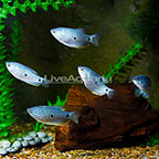 Blue Gourami (Group of 5) (click for more detail)