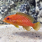Miniatus Grouper (click for more detail)