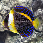 Scribbled Angelfish Female (click for more detail)