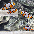 ORA® Snowflake Ocellaris Clownfish (Select Pair) (click for more detail)