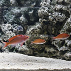 Red Deepwater Fairy Anthias (Trio) (click for more detail)