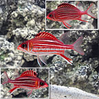 Crown Squirrelfish (Trio) (click for more detail)