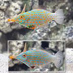 Orange Spot Filefish (Bonded Pair) [Expert Only] (click for more detail)