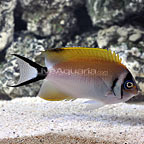 Masked Swallowtail Angelfish Female (click for more detail)