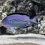 Watanabei Angelfish Male (click for more detail)