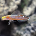 Court Jester Goby (click for more detail)