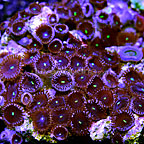 Red People Eaters Colony Polyp Rock Zoanthus Indonesia IM (click for more detail)