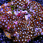 Orange Delight and Miami Hurricane Colony Polyp Rock Zoanthus Indonesia SM (click for more detail)