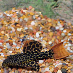 Redtail Leopard (LDA-007) Plecostomus (click for more detail)