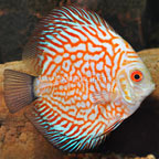 Red Pigeon Discus (click for more detail)