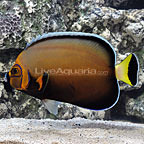 Conspicuous Angelfish Adult (click for more detail)