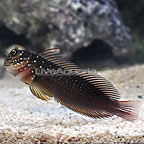 Squiggly Blenny (click for more detail)