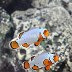 Bali Captive-Bred Extreme Snow Onyx Ocellaris Clownfish (Bonded Pair) (click for more detail)