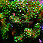 Aussie Pocillopora Coral  (click for more detail)