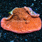 Aussie Encrusting Montipora Coral (click for more detail)
