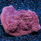 Encrusting Montipora Coral Tonga (click for more detail)