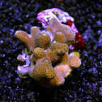 Branching Porites Coral Fiji (click for more detail)