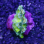 ORA® Cultured Squamosa Clam (click for more detail)