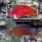 McCullochi Dottyback (Bonded Pair) (click for more detail)
