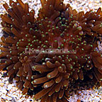 Sebae Anemone, Neon Green Tip (click for more detail)