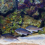 Yellow Edge Chromis (Trio) (click for more detail)