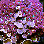 Blastomussa Coral Indonesia Combo (click for more detail)