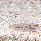 Starry Fin Goby (click for more detail)