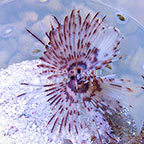 Dwarf Feather Duster, Purple (click for more detail)