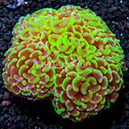 Hammer Coral Tonga (click for more detail)